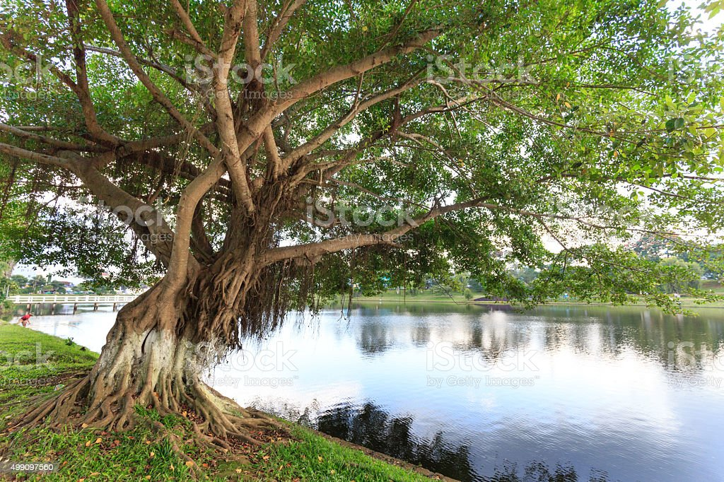 The large banyan tree by the lake stock photo