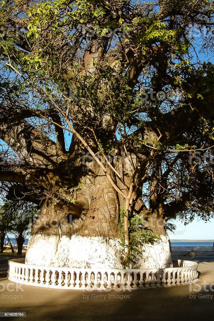 The large baobab of Mahajanga stock photo