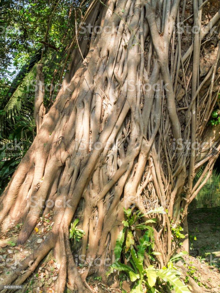 The large Bodhi tree stock photo