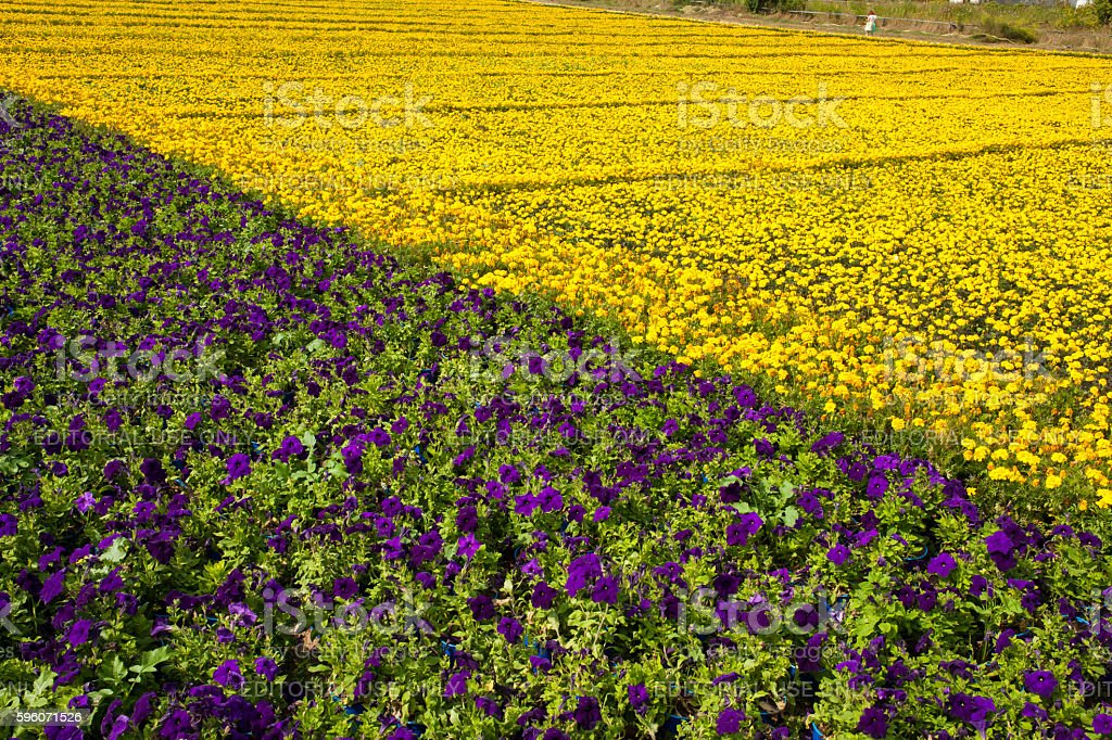 The largest carpet of flowers was created in Kyiv, Ukraine. stock photo