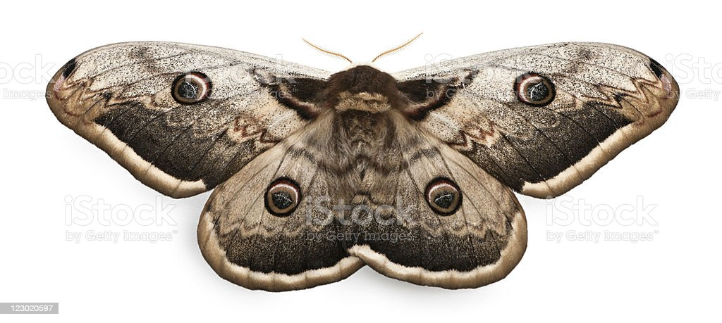 The largest European Moth, white background stock photo