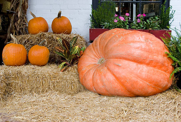 The Largest Pumpkin in Chatham County stock photo