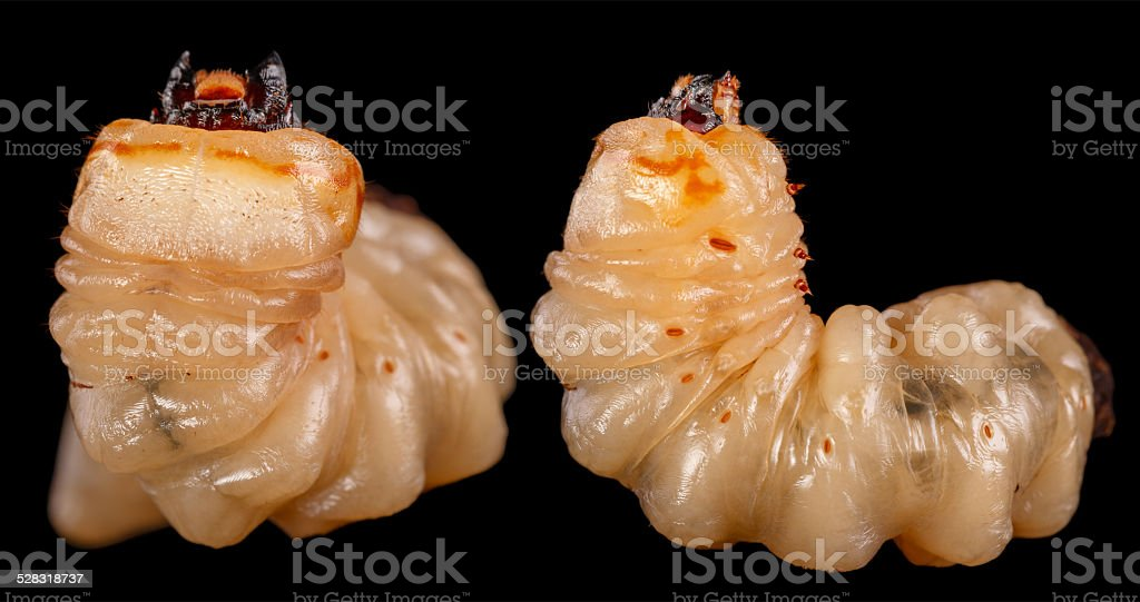 Le Larve Longicorne est le plus grave pest. - Photo