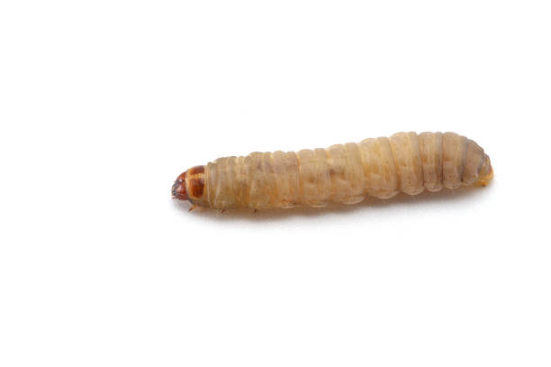the larva of a beetle isolated on white background stock photo