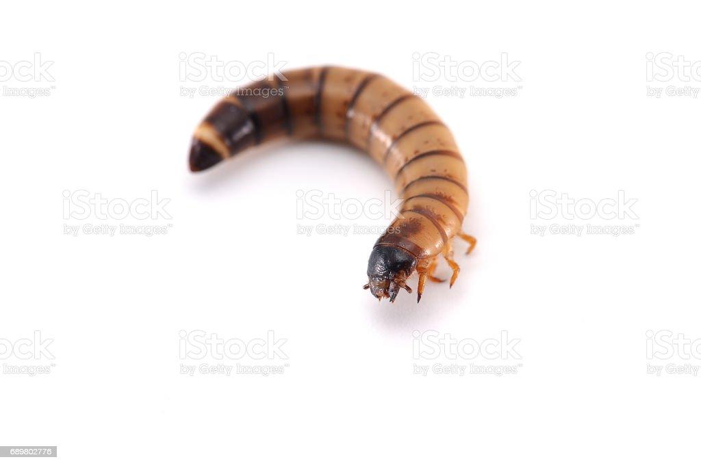la larve d'un coléoptère isolé sur fond blanc - Photo