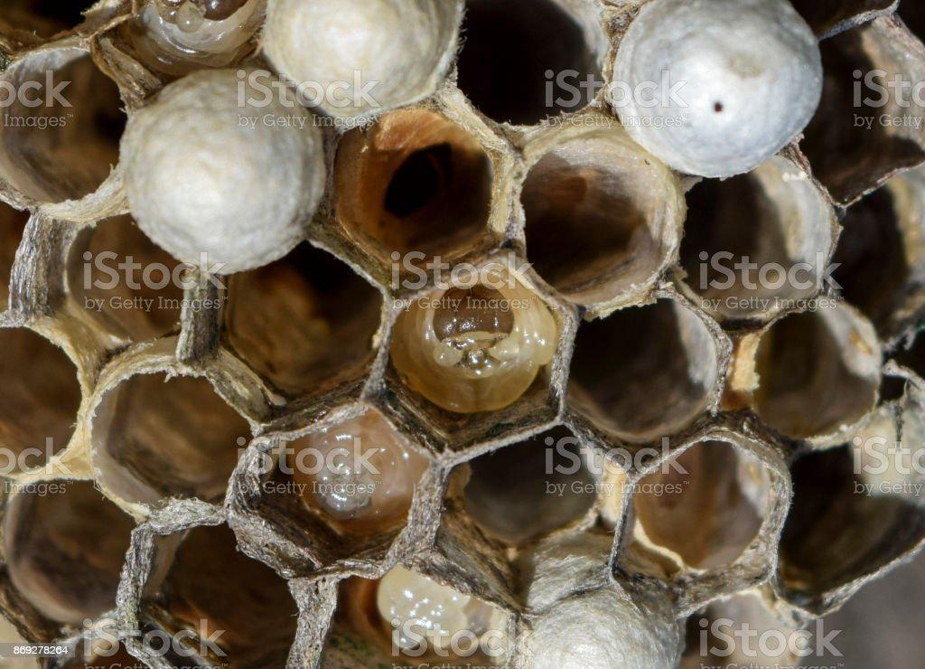 The larvae in honeycombs hornet's nest. stock photo