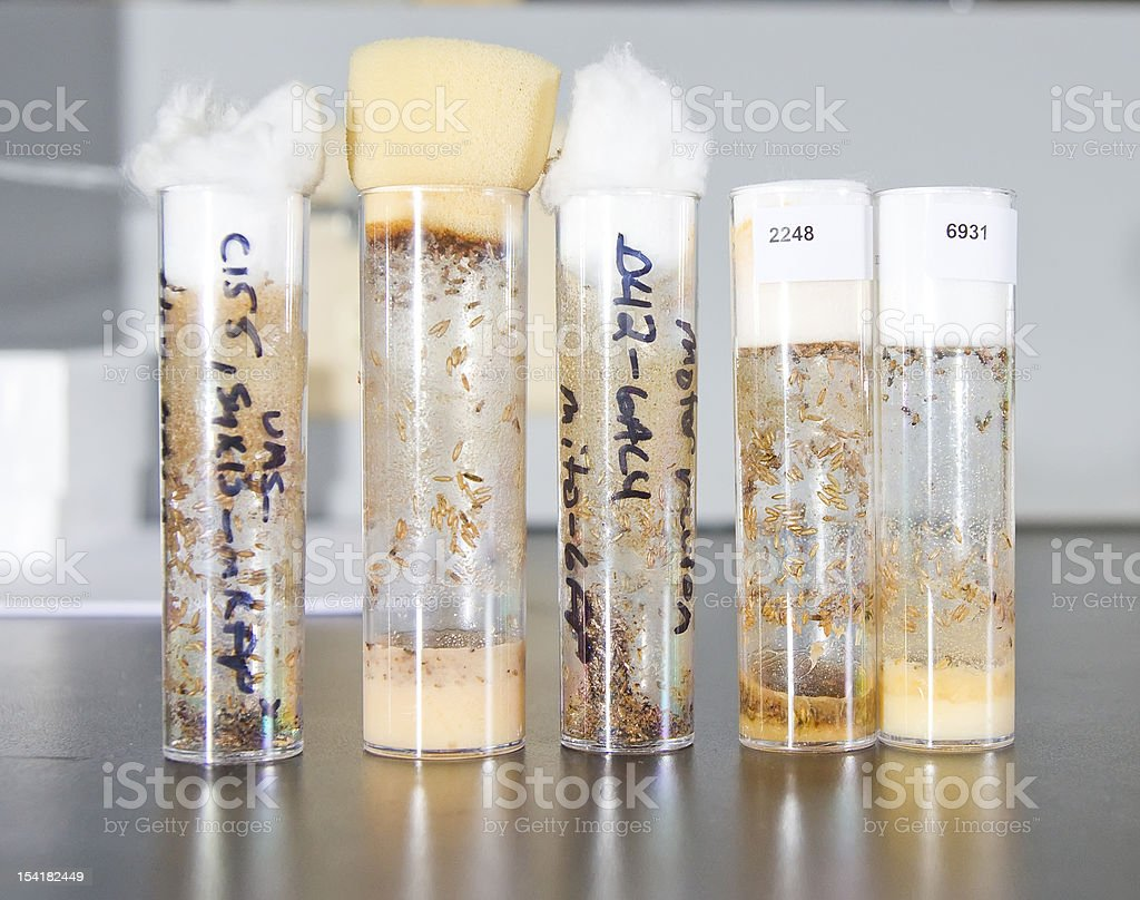 The larvae of Drosophila flies in test tubes stock photo