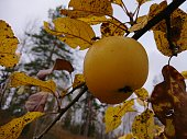 Close up on one last yellow apple hanging in the tree in October with a fly on it