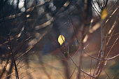 A close-up shot of the last autumn leaf to fall from a bare branch during the autumn season.