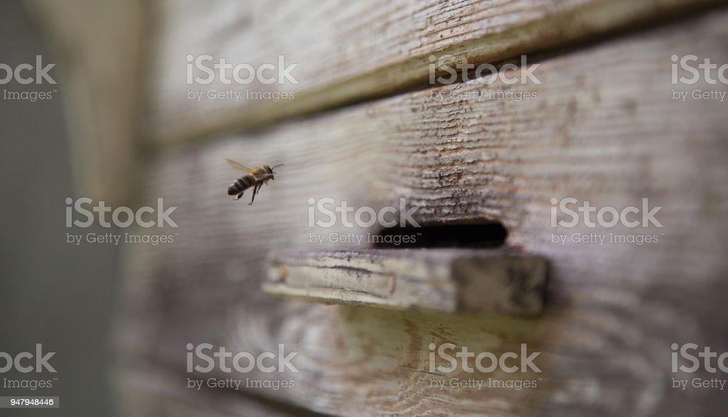 Le dernier abeille - abeille seule atterrissant dans la ruche - Photo