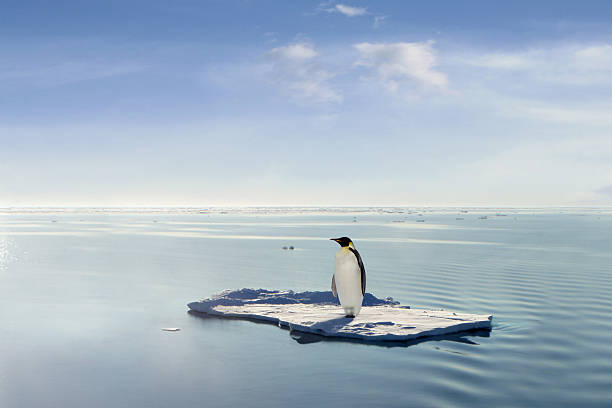 The last emperor Penguin managed to save himself on one of the last ice floes. ice floe stock pictures, royalty-free photos & images