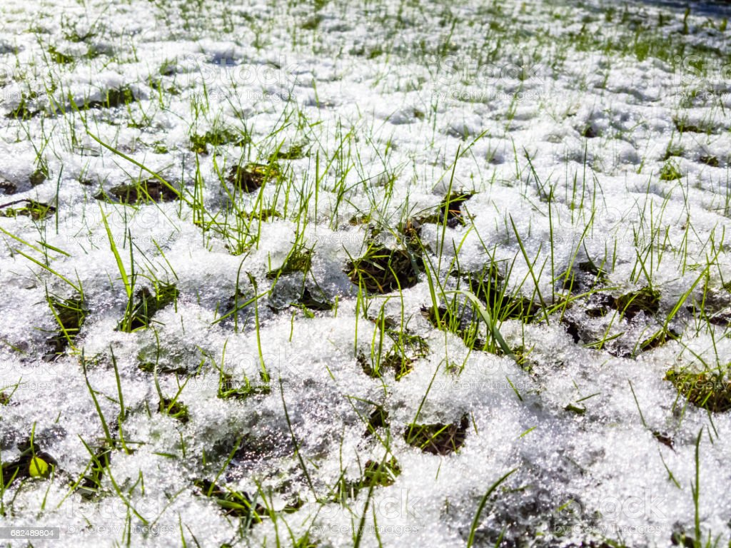 The last fallen spring snow on green leaves and green grass. royalty-free stock photo