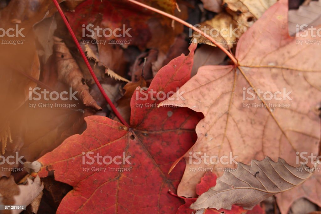 the last of the leaves stock photo