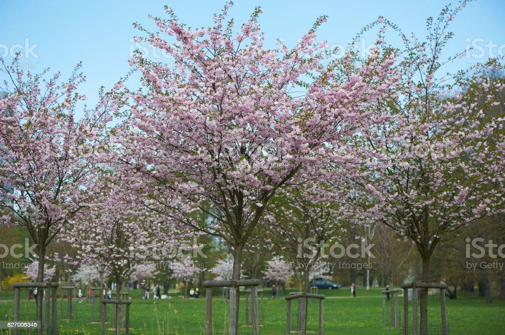 The late varieties of Japanese Sakura that grow in northern Europe stock photo