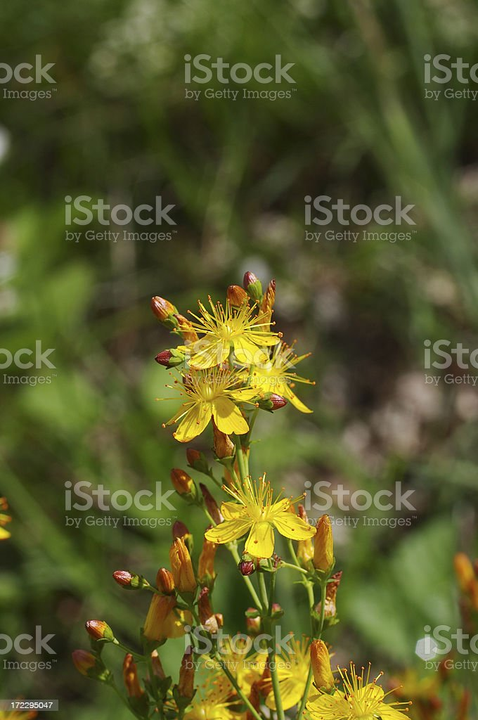 Hypericum pulchrum slender St. John's wort yellow flower royalty-free stock photo