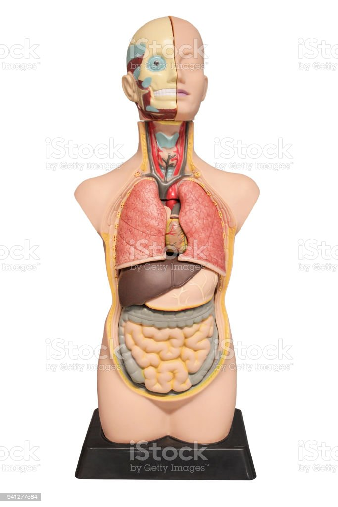 The Layout Of The Human Body Stock Photo More Pictures Of Abdomen