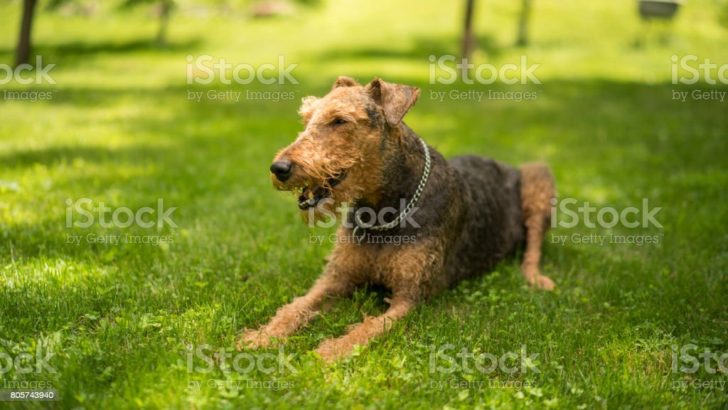 The lazy Airedale Terrier dog lying down and resting on the grass stock photo