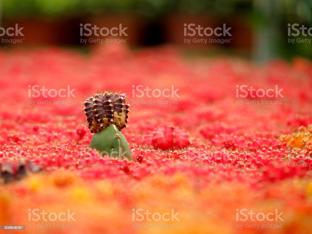 The Leader of the Cactus & Stand Alone stock photo