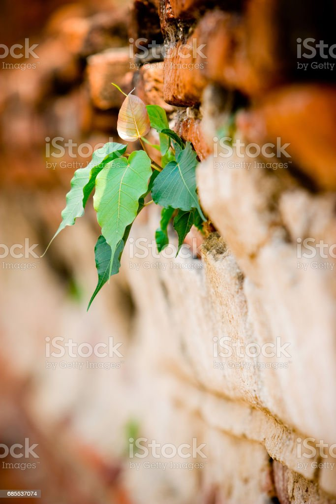 The leaves are growing over the ruin wall 免版稅 stock photo