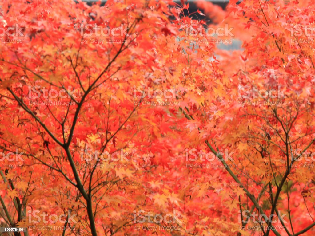 The Leaves color change in kyoto in Japan stock photo