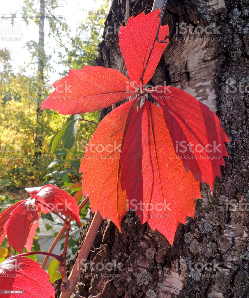 The leaves of Parthenocissus on the birch trunk stock photo