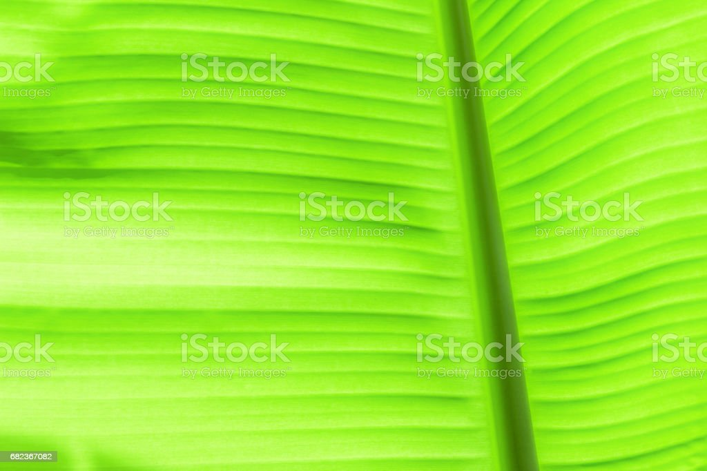 The leaves of the banana tree Textured abstract background foto de stock libre de derechos