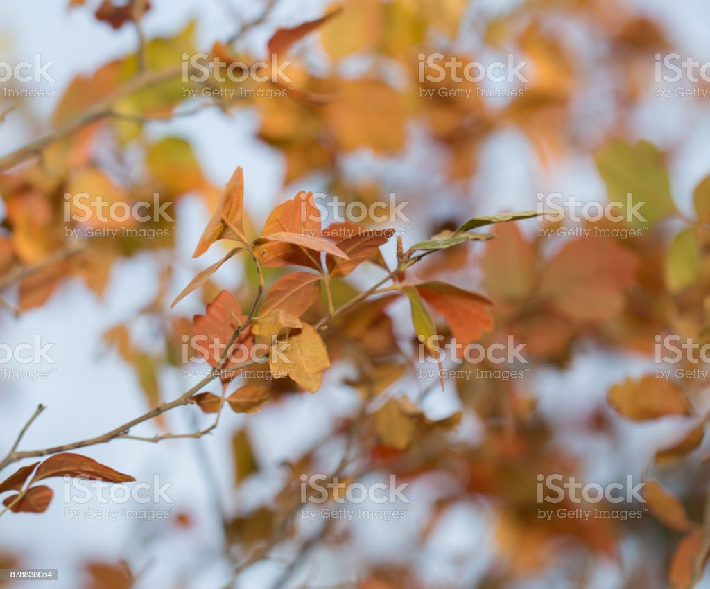the leaves on the tree in nature in autumn stock photo