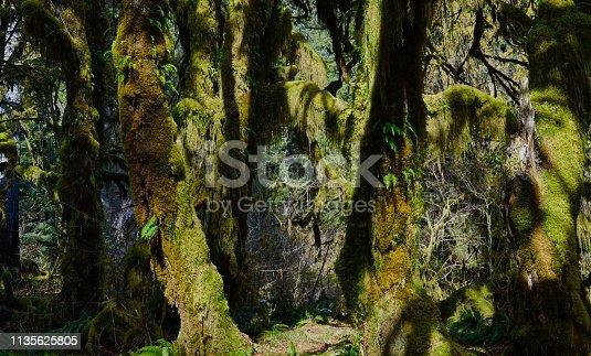 Northwest Washington's Olympic Peninsula. Olympic National Park/West Zone. Hoh Rainforest Hall Of Mosses.