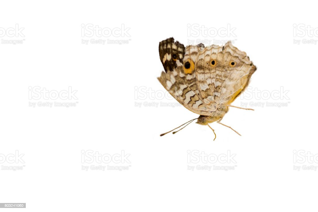The Lemon Pansy Butterfly ,isolated on white background stock photo