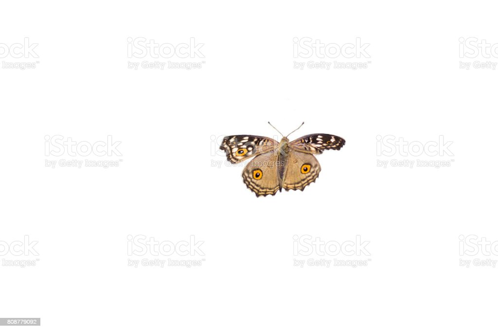 The Lemon Pansy butterfly wings absent ,isolated on white background stock photo