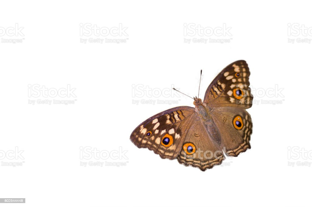 The Lemon Pansy Butterfly wings spread ,isolated on white background stock photo