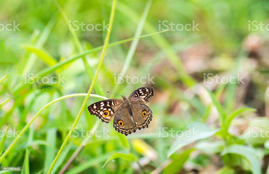 The Lemon Pansy 'nButterfly wings absent on the background blurred . stock photo