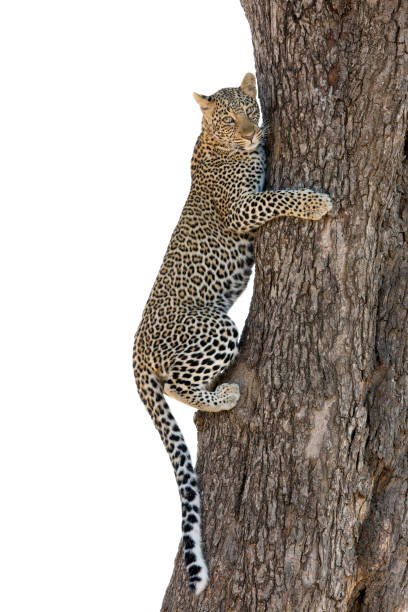 The leopard is the smallest of the big cats and this belongs to genus Panthera stock photo