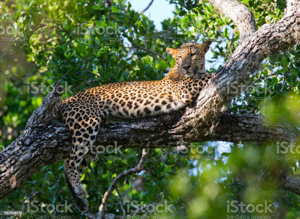 The leopard lies on a large tree branch. stock photo
