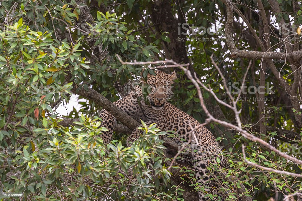 The leopard waiting prey. On tree. Masai Mara, Kenya stock photo