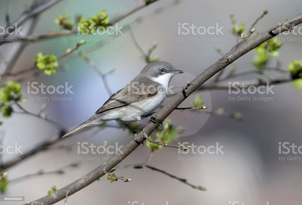 The lesser whitethroat (Sylvia curruca) stock photo