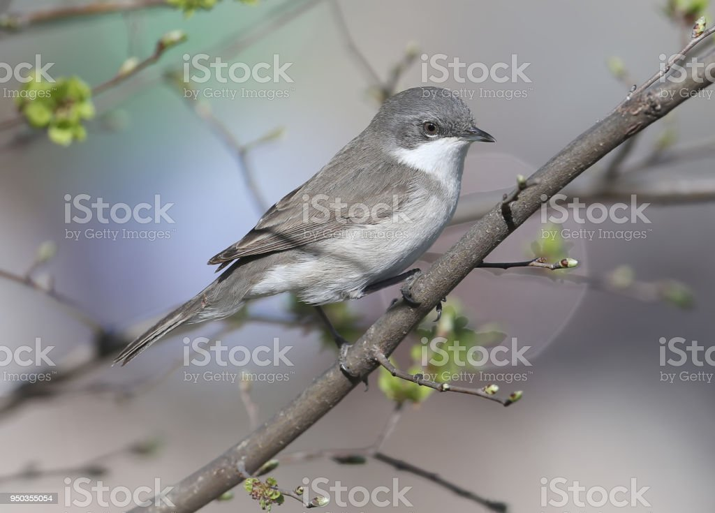 The lesser whitethroat (Sylvia curruca) sits on a branch stock photo