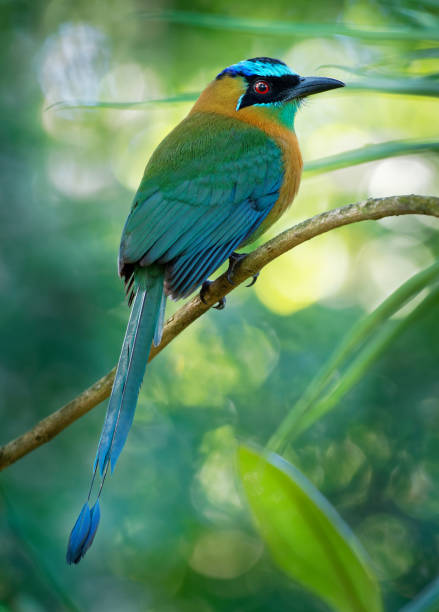 The lesson s motmot or bluediademed motmot is a colorful bird found picture id1139087313?b=1&k=6&m=1139087313&s=612x612&w=0&h=kiwcngmcxltiuso odclepjjeov5cethi3burokm4nk=