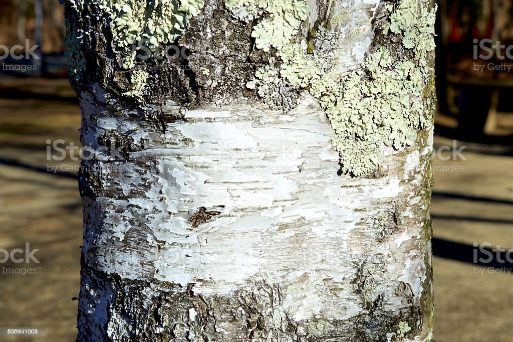 The lichen of the white birch stock photo