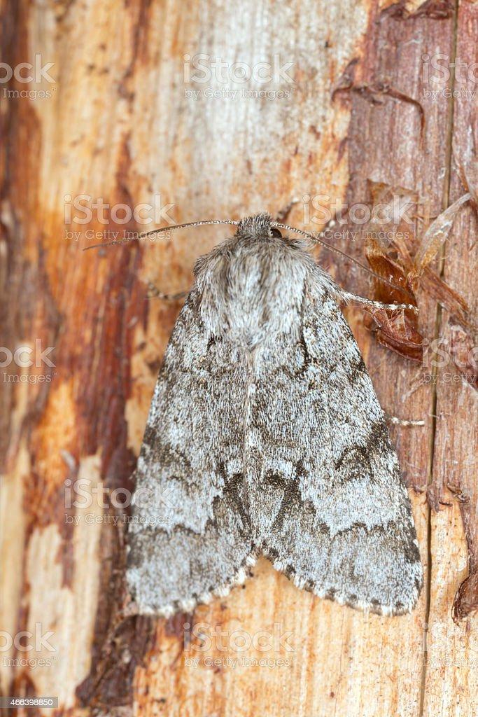The light knot grass, Acronicta menyanthidis resting on wood stock photo