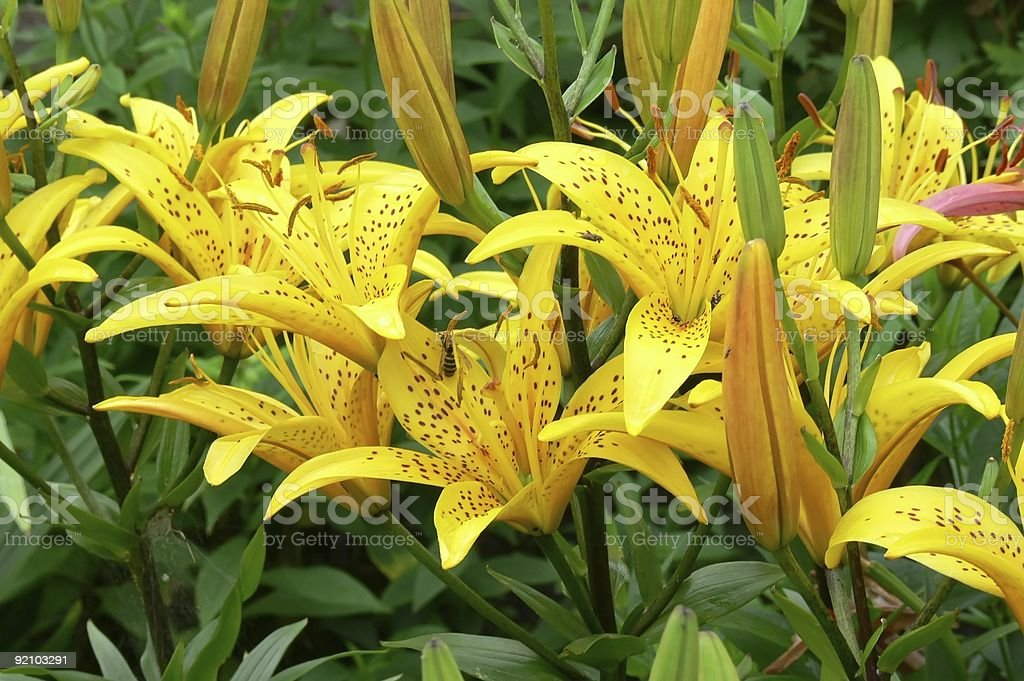 The Lilies. royalty-free stock photo