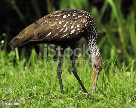 The Limpkin in the Florida Everglades
