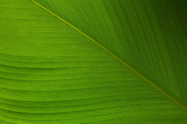the line on the tropical climate leaf. - foliate pattern stock photos and pictures