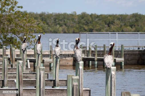 Brown Pelican line up on posts at the dock of the inlet near Chokoloskee, Florida.