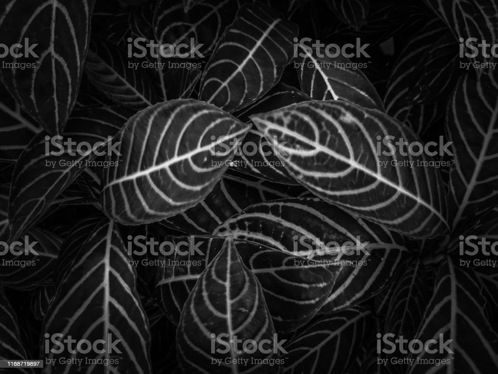 The Lines Of Leaves Black Colour Abstract Background Wallpaper Stock Photo Download Image Now Istock