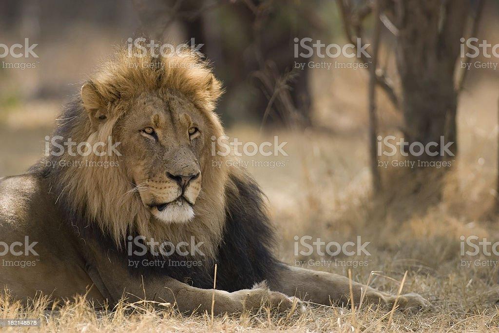 The Lion Boss stock photo