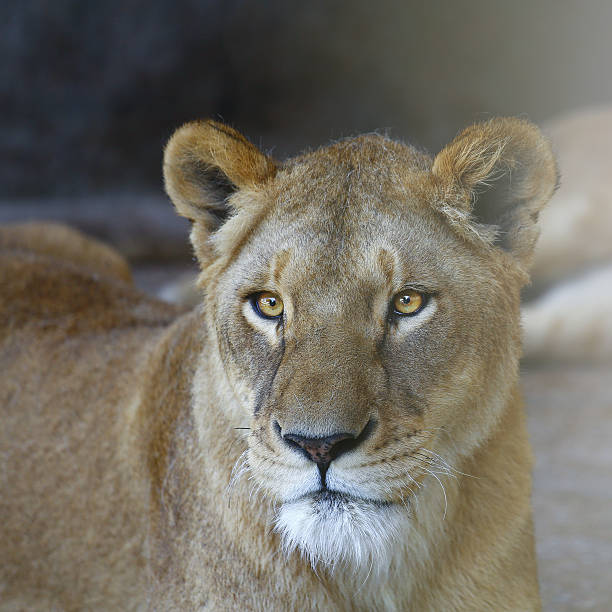 the lion face - lioness stock photos and pictures