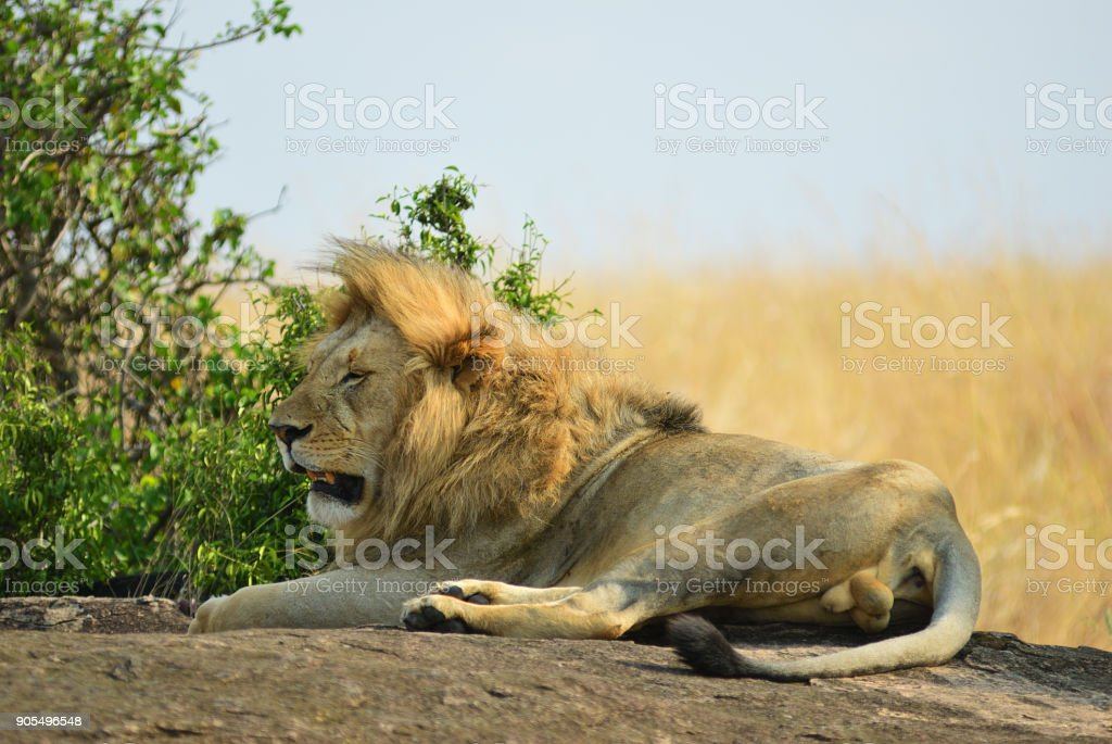 The lion on a rock, Kenya stock photo