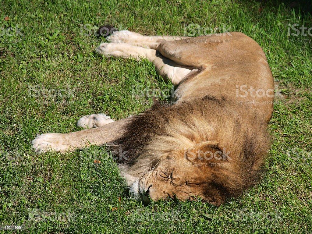 The Lion Sleeps Tonight stock photo