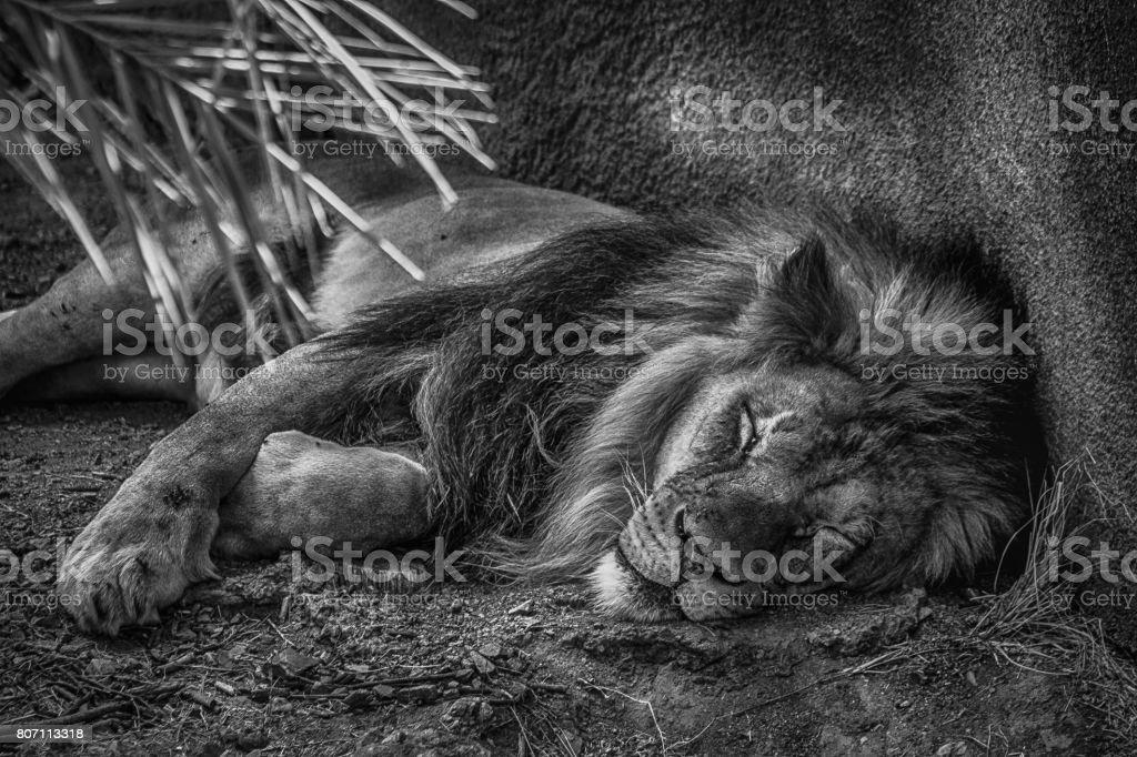 Aslan uyuyor bu gece stok fotoğrafı